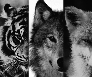 wolf, tiger, and animal image