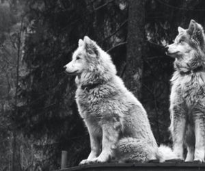wolf, b&w, and dog image