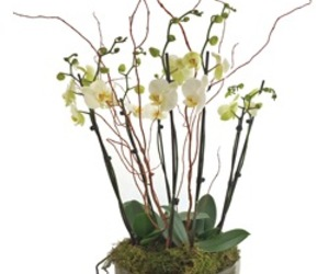 Valentine's Day, white orchids, and modern image