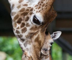 animal, giraffe, and love image