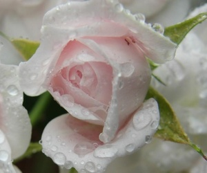 droplets, rose, and pink image