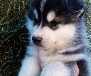 husky, little, and puppy image