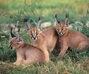 animals, lynx, and cute image