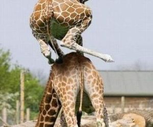 funny, giraffes, and leap frog image
