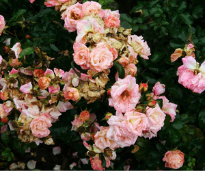 bush, flowers, and pink image