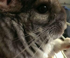 animals, Chinchilla, and eyes image