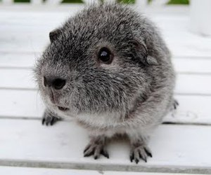 animal, grey, and guinea pig image