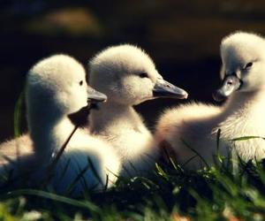 duck and duckling image