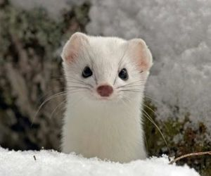 animal, snow, and weasel image