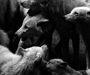 animals, b&w, and wolf image