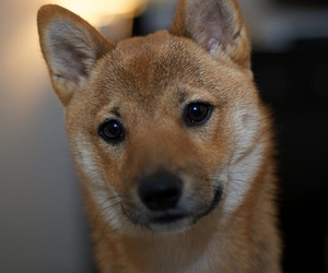 project365, puppy, and shiba inu image