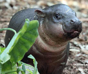 adorable, hippo, and animal image