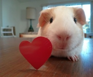 guinea pig, heart, and cute image