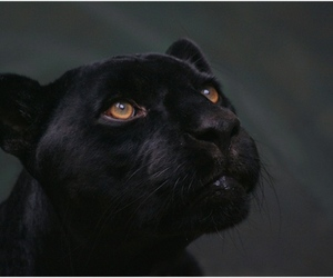 animal, beauty, and panther image