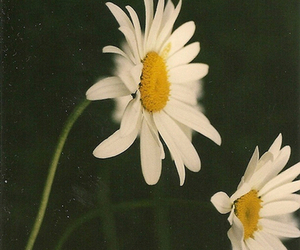 daisy, flowers, and girlie image