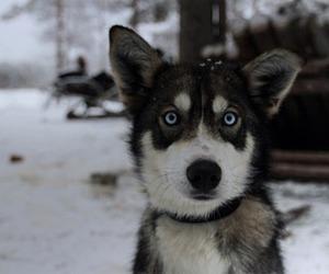 amazing, black dog, and blue eyes image