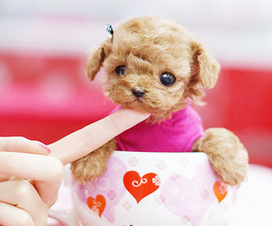 dog, cute, and poodle image