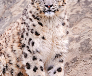 cheeta image