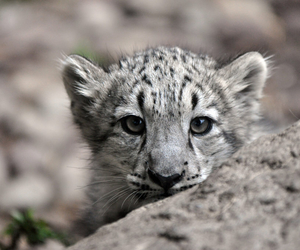 animals, redbook, and baby snow leopard cute image