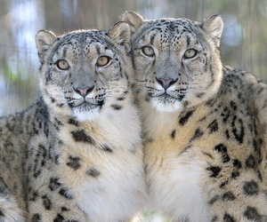 aw, aww, and big cats image