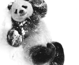 animal, panda, and love image