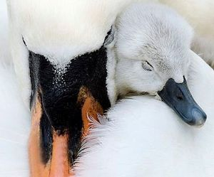 adorable, mother, and swam image