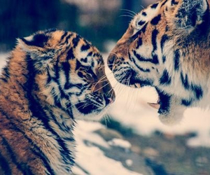 tiger, animals, and cute image