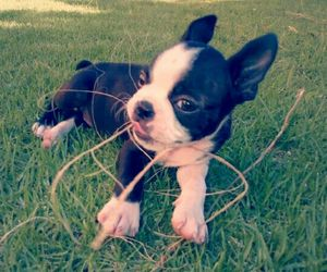 boston terrier, puppy, and cute image
