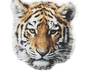 tiger, transparent, and overlay image