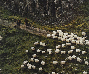 sheep and nature image