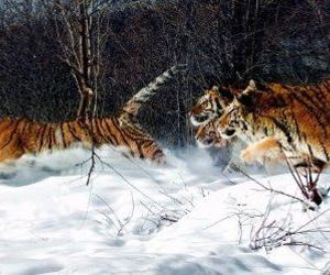 animal, big cat, and snow image