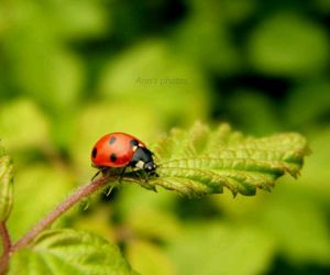 coccinella, insect, and nature image