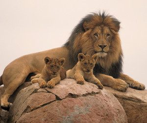 lion and family image