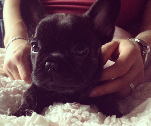 cutie pie, dog, and french bulldog image