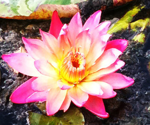flower, water, and waterlily image