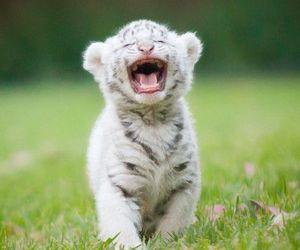 tiger, animal, and adorable image