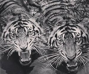 Animales, tigres, and tiger image