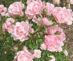 flowers, roses, and pale image