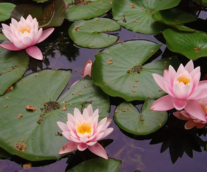 lily, pond, and water lilies image