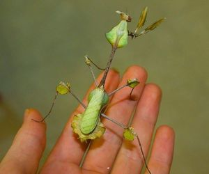 insect, leaf, and violin mantis image