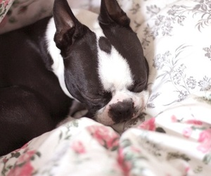 adorable, boston terrier, and dog image