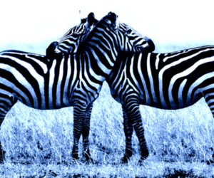zebra, animal, and hug image