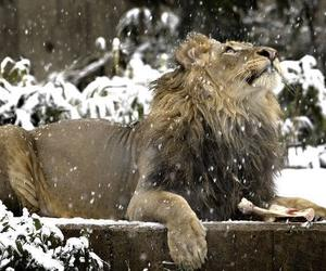 lion and snow image