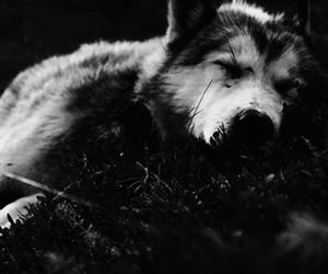black and white, b&w, and wolf image