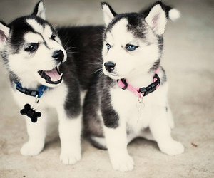 adorable, dog, and pomsky image