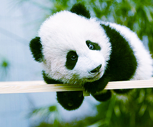 animal and panda image