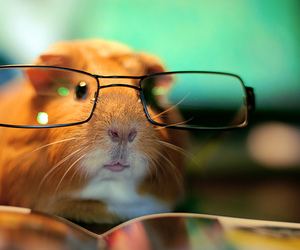hamster, guinea pig, and glasses image