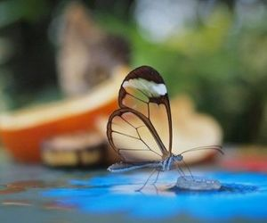 butterfly, glasswinged, and at http: goo.gl rmyoai image