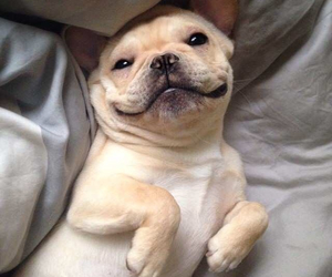 french bulldog, funny, and happy image