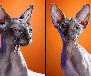 cats, hairless cat, and photography image